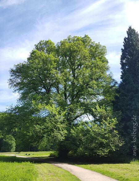 Baum im Kölner Stadtwald