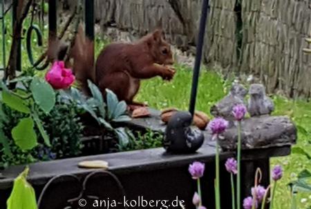 Eichhörnchen frisst Walnuss