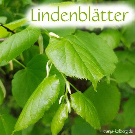 Lindenblätter Wildkräuter