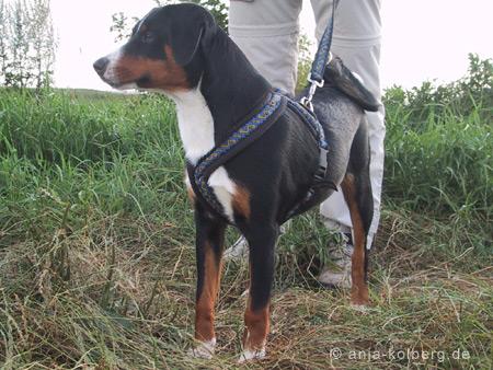 Appenzeller Sennenhund Dänemark Junghund